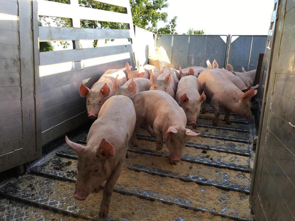 Schweine_2019_b