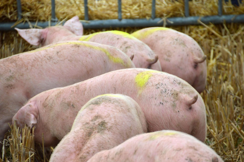 5Schweine-von-hinten-3739218